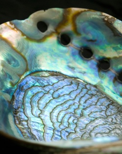 abalone shell image