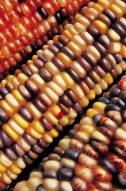 Corn-tri-colored