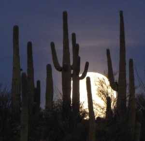 Setting full moon over Saguaros; SE of SanManuel, AZ
